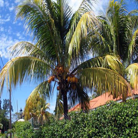 Palma da cocco fertilizzanti e concimi per i frutti tropicali - Palma di cocco ...