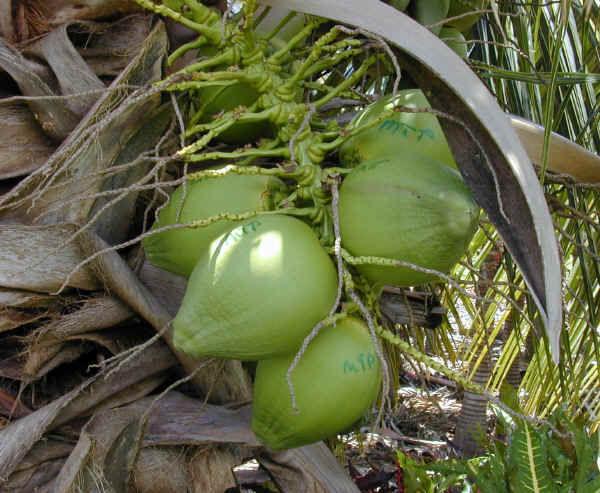 Palma da cocco concimi e biostimolanti per frutta for Pianta di cocco