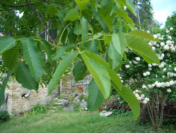 Noce concimi e fertilizzanti per coltivare le piante di noci for Pianta di noci