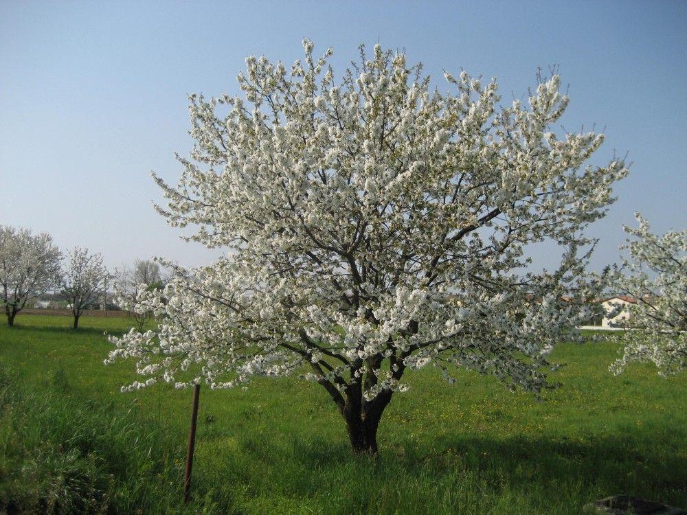 Ciliegio concimi e fertilizzanti per drupacee ilsa s p a for Vendita alberi da frutto adulti
