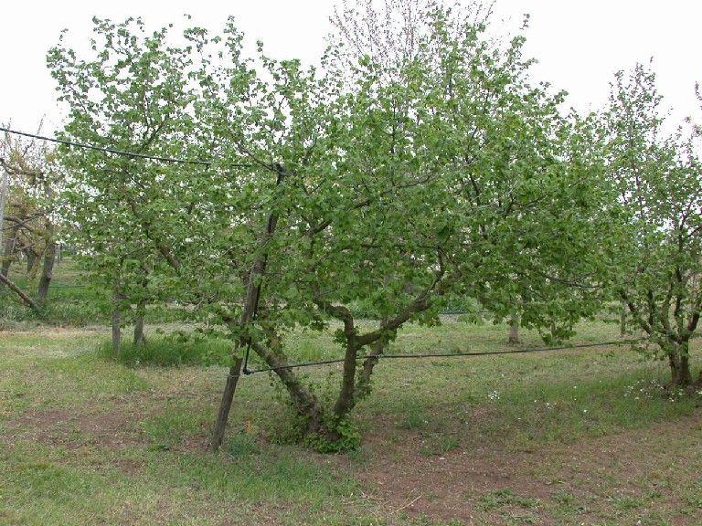 Nocciolo concimi e fertilizzanti per coltivare la frutta for Pianta nocciolo prezzo