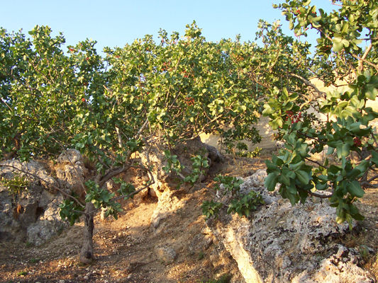 Pistacchio concimi e fertilizzanti per coltivare la frutta for Pianta pistacchio prezzo