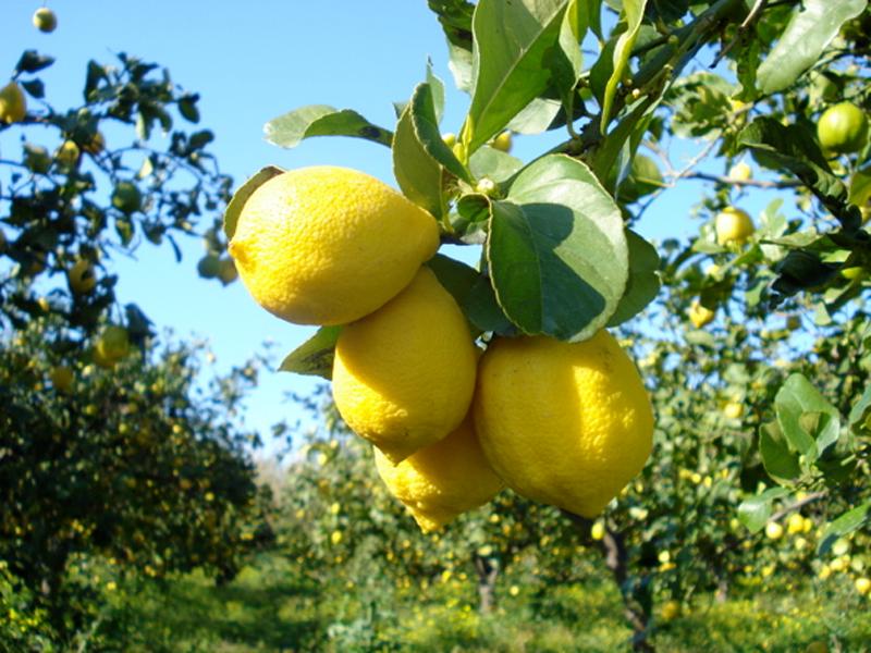 Cedro fertilizzanti per coltivare gli agrumi ilsa s p a for Coltivare limoni