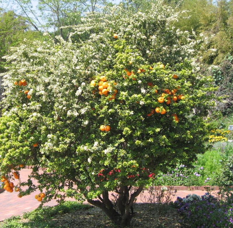Il chinotto for Citrus myrtifolia