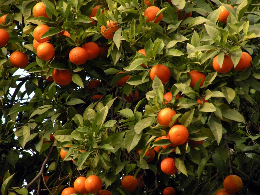 Calendario Concimazione Agrumi.Arancio Concimi E Biostimolanti Per Gli Agrumi Ilsa S P A