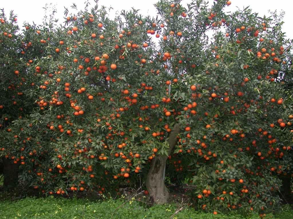 Clementino concimi e fertilizzanti per coltivare gli agrumi for Kiwi albero