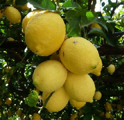 Limone concimi e fertilizzanti per coltivare gli agrumi for Coltivare limoni