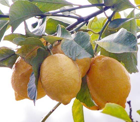 Limone fertilizzanti per coltivare gli agrumi ilsa s p a for Coltivare limoni