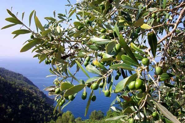 albero olive
