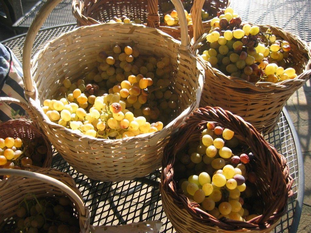 Uve da tavola concimi e biostimolanti per vite da tavola - Vivai rauscedo uva da tavola ...