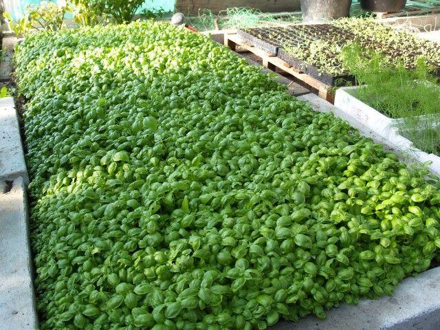 Basilico concimi ebiostimolanti per gli ortaggi da foglia for Basilico vaso