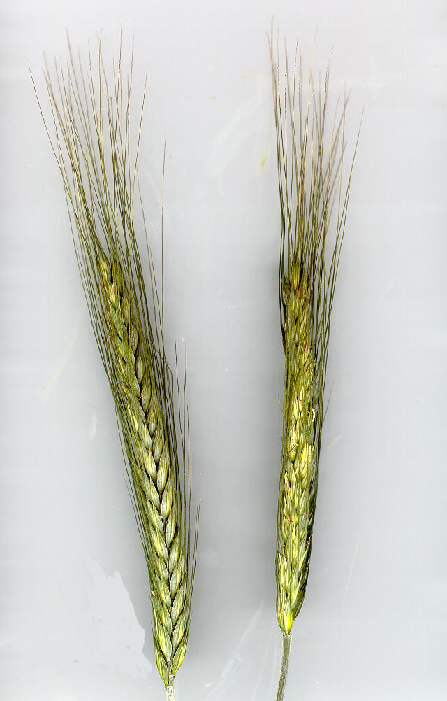 triticale concimi e biostimolanti per cereali ilsa s p a