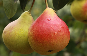pear-trees-quality-and-benefits-prolonged-over-time.htm