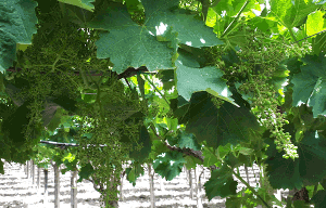 ilsa-s-green-strategy-for-black-berried-table-grapes.htm